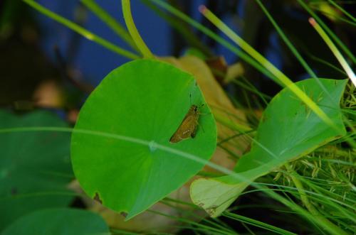 蓮池のイチモンジセセリ