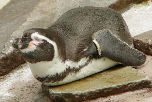 いい気持ちで寝ていたペンギン
