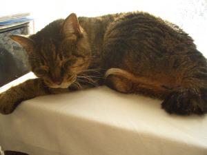 2013年正月の猫ども・ハナ