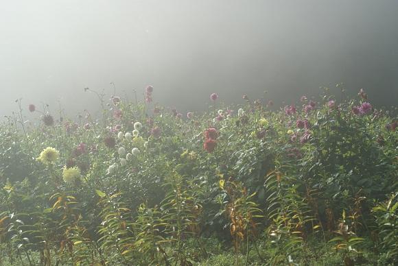 朝靄の中のダリア