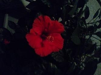 夜のハイビスカス