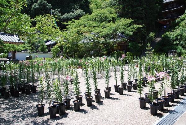 カサブランカの鉢植え
