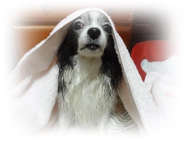 タオルをかぶったルビー1