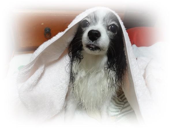 タオルをかぶったルビー2