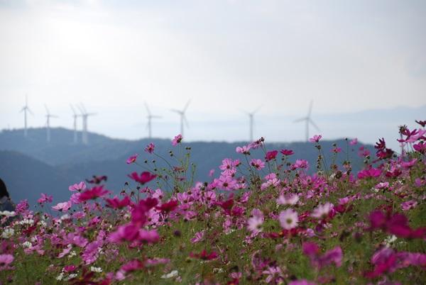 コスモスと山の上の風車