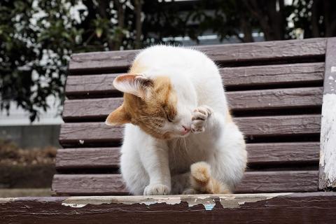 毛繕いする茶白猫