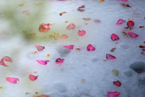 池の山茶花