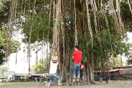 ムンドゥ寺院ツタの木ぶら下がり
