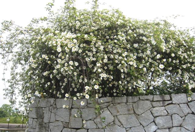 仏生山公園の薔薇