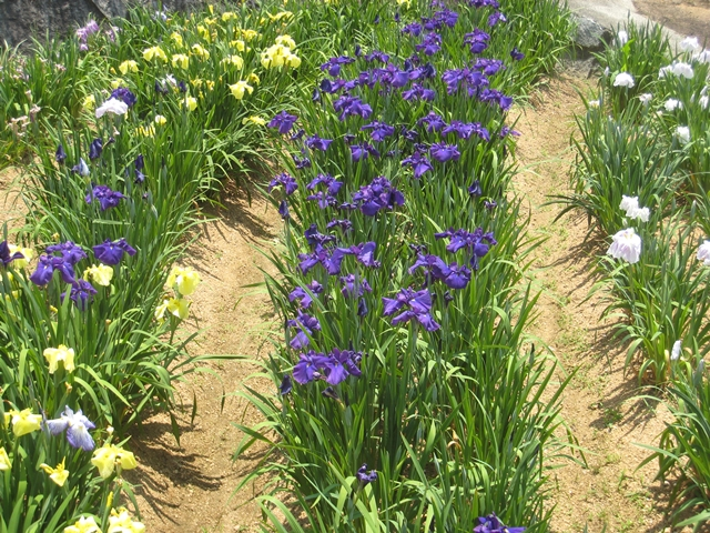 亀鶴公園花しょうぶ園
