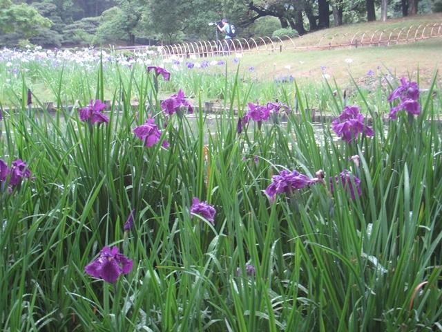栗林公園花しょうぶ園