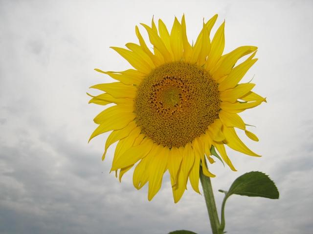 さぬき市寒川町神崎の向日葵