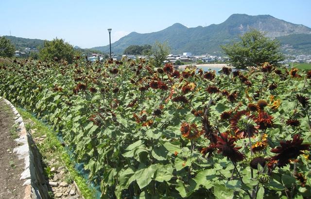 善通寺五岳の里の赤茶色の向日葵