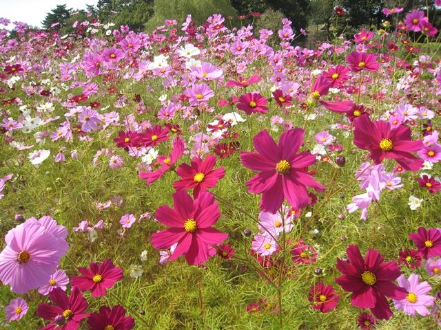 国営讃岐まんのう公園の秋桜
