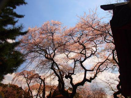 P4156461西行桜