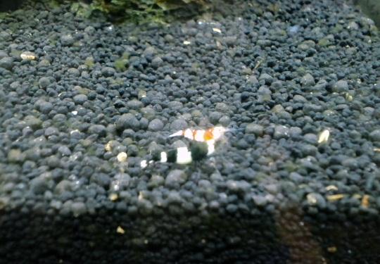 ハイブリ水槽赤Beeとシャドー