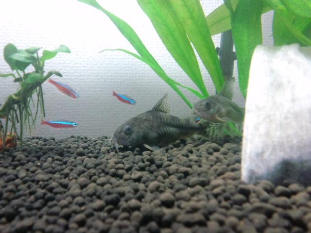 熱帯魚水槽1