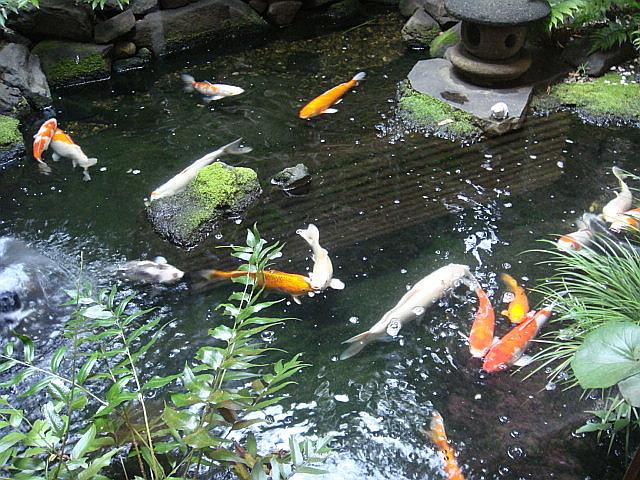 中庭の鯉@神田 きくかわ