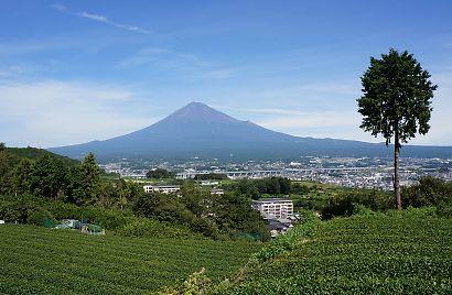 岩本山の茶畑9月