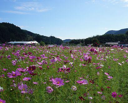 岡部町コスモス畑-2