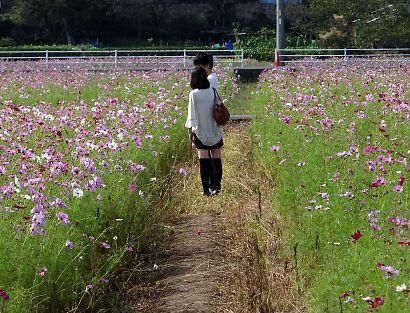 岡部町コスモス畑-3