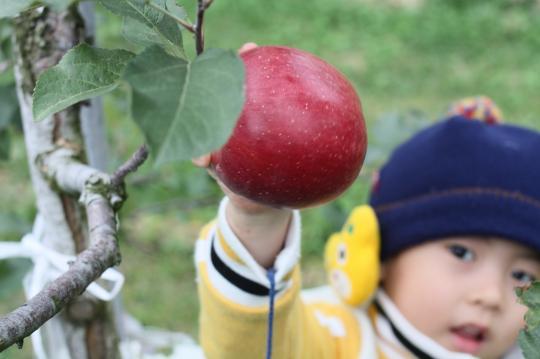 りんごをもぐ次男