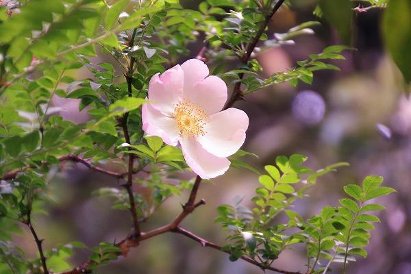 サンショウバラ ( 山椒薔薇 )