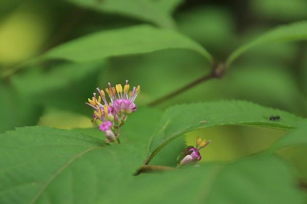 ムラサキシキブ ( 紫式部 )