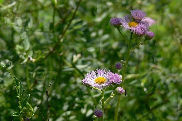 ハルジオン (春紫苑)