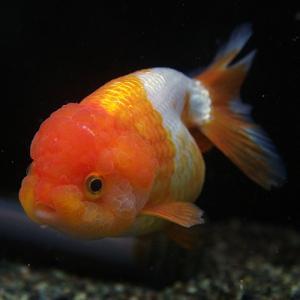 金魚 ライオン02