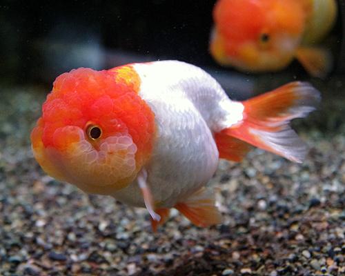 金魚 ライオン