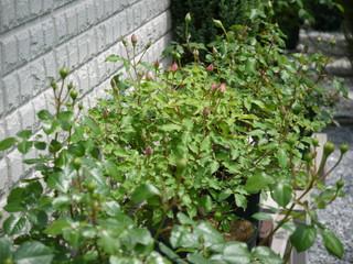 バラの蕾いっぱい20120512