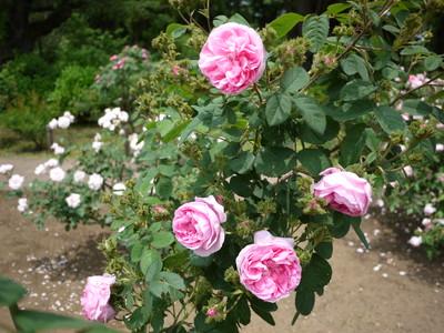 神代植物公園_シャポードナポレオン20120521
