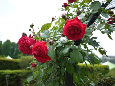 神代植物公園_アーチの赤バラ20120521