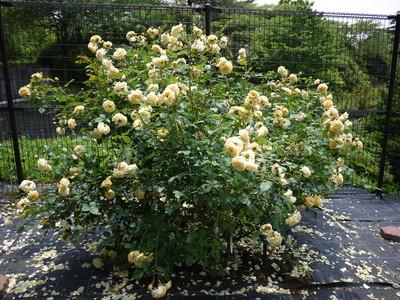 生田緑地ばら苑_ティージングジョージア20120529
