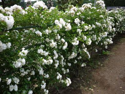 生田緑地ばら苑_つるサマースノー20120529