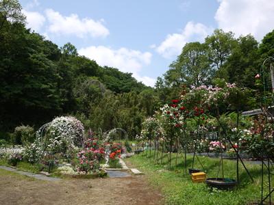 生田緑地ばら苑_オールドローズゾーン20120529