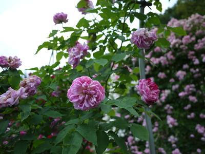 生田緑地ばら苑_オノリーヌドゥブラバン20120529