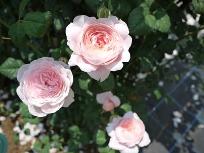 生田緑地ばら苑_クイーンオブスウェーデン20120529
