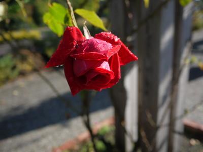 花フェスタ記念公園_アンクルウォルター20121029