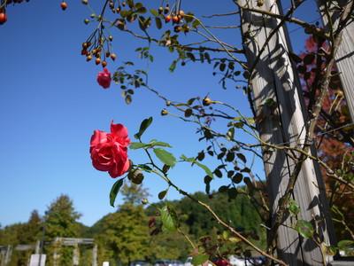 花フェスタ記念公園_ゴールウェイベイ20121029
