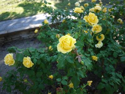 花フェスタ記念公園_フリーダム20121029