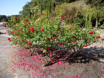 花フェスタ記念公園_L.D.ブレスウェイト20121029