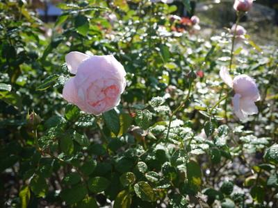 花フェスタ記念公園_セントセシリア20121029