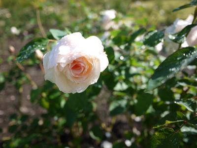 花フェスタ記念公園_ペルディータ20121029