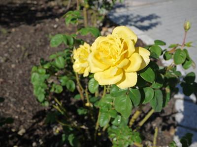 花フェスタ記念公園_ジーナロロブリジーダ20121029