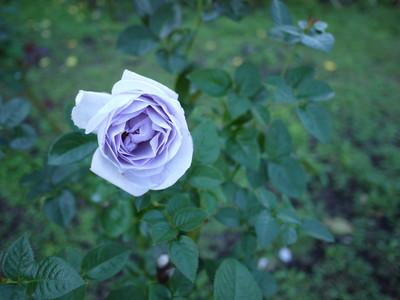 花フェスタ記念公園_ブルーバユー20121029