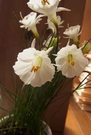 Narcissus5.jpg