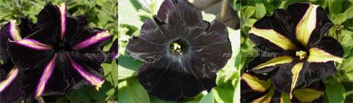 黒ペチュニア