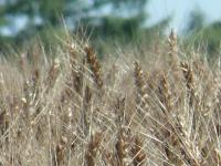 まさしく小麦色